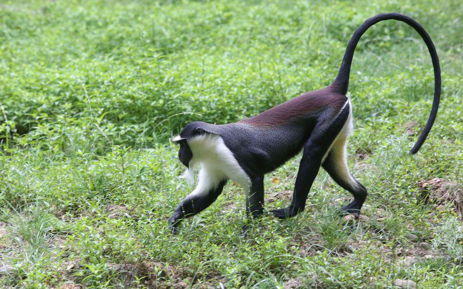 Evian (74). La police découvre un macaque lors d'une perquisition