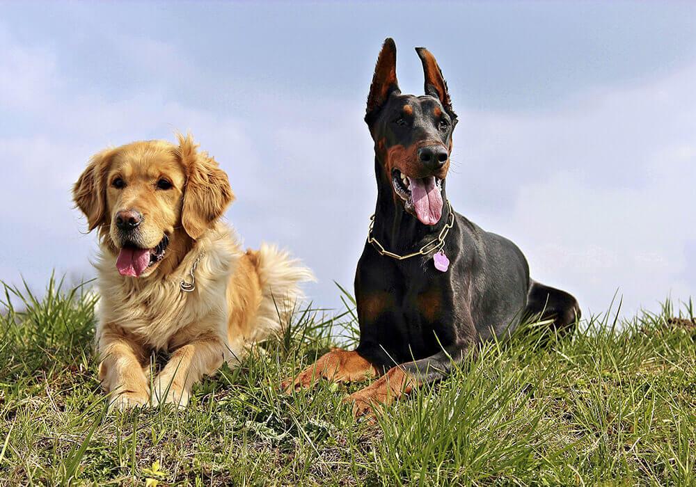 GB : L'interdiction de manger du chien bloquée par le ministère de la Justice par crainte d'offenser les populations d'Extrême-Orient.