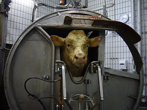 Victoire pour l'abattage rituel : les animaux pourront être abattus sans étourdissement préalable