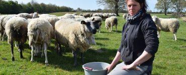 Loire-Atlantique : victime de vols de moutons, cette éleveuse vit un calvaire au quotidien